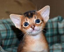 Характер абиссинские кошки