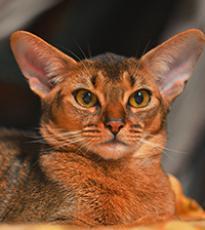 Super-Aby Casablanca абиссинская кошка