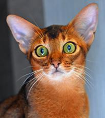 Super-Aby Martina абиссинская кошка